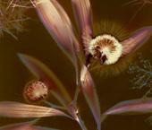 Australian Beauties, Hakea laurina (Pin-cushion Hakea) and Acacia boormanii (Snowy River Wattle)