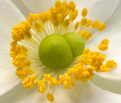 Japanese wind anemone, Anenome hupehensis var. japonica