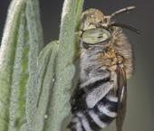 Blue banded bee, Amegilla cingulate