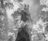 The Giant, Coastal Redwood, Sequoia sempervirens.