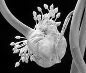Twisted Garlic - Allium ampeloprasum
