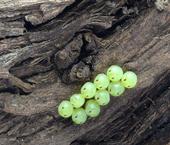 Green potato bugs, Cuspicona simplex