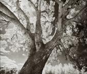 The Sentinel Eucalyptus camaldulensis