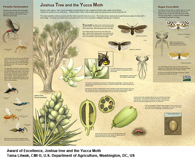 Joshua-tree-and-the-Yucca-Moth