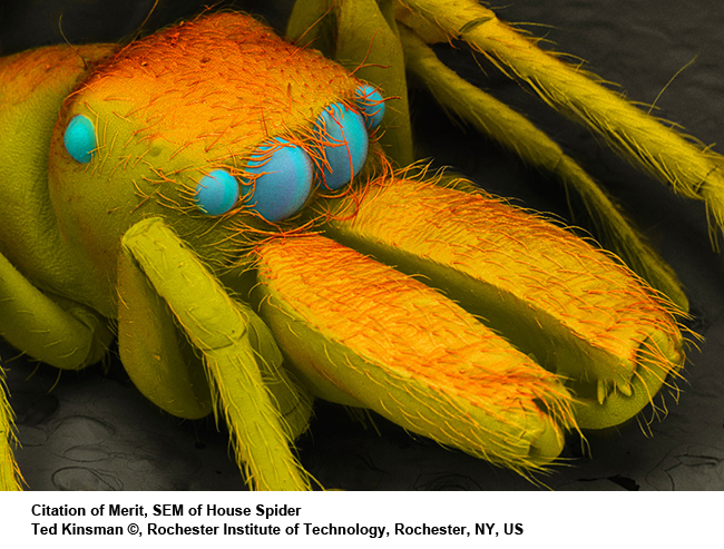 SEM-of-house-spider
