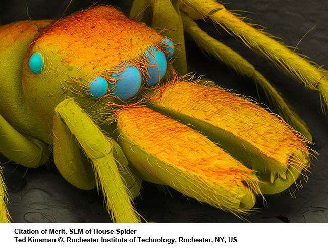 SEM-of-house-spider