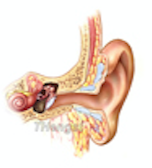 Anatomy of Ear