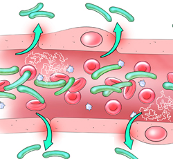Bacteria Migration from Capilllary