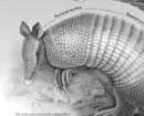 Armor Composition of Nine-Banded Armadillo