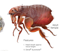 Cat Flea (Ctenocephalides felis)