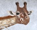 Giraffe and Human Cervical Vertebrae