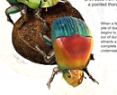 The Lifecycle of the Rainbow Scarab Beetle