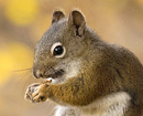 Pine Squirrel Eating Nut