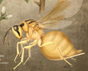 New Species of Eurytomid Wasp