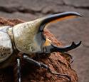 Male Western Hercules Beetle, Dynastes granti