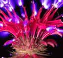 Electrophotography Discharge image of a Bee Balm Flower