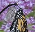 Caterpillar to Monarch: VIDEO