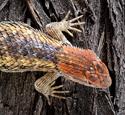 Female Desert spiny lizard, Sceloporus magister