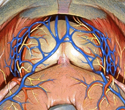Neurovascular Supply to Prostate